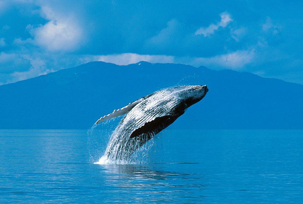 See Whales In The Blue Sea Around Kodiak Island